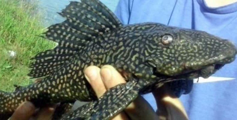Пятнистая рычащая рыба обнаружена на берегу Оби