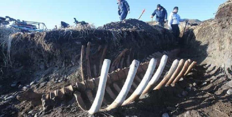 В Командорском заповеднике нашли скелет гигантской морской коровы