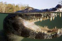 Кэнок Несси: очковый кайман в водоеме центральной Англии