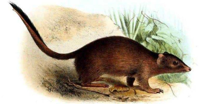 В Австралии обнаружили считавшуюся вымершей сумчатую мышь