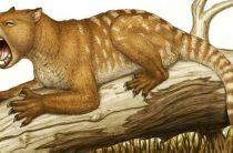 Новый подвид сумчатого льва обнаружен в Австралии