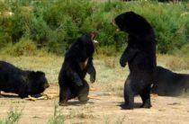 Ученые: Свидетельства появления йети являются результатом действий медведей