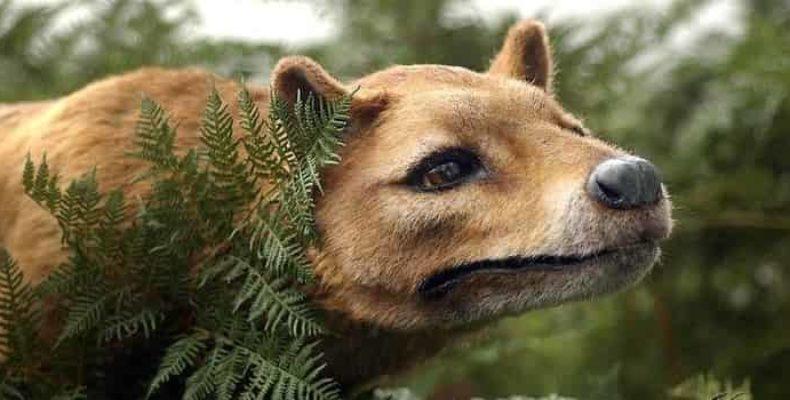 Австралийский тилацин жив