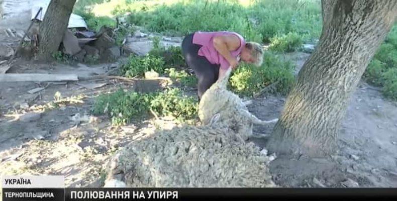 Украинские фермеры в ужасе от таинственного убийства их овец