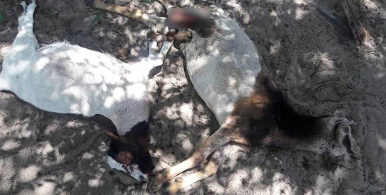 Намибия: таинственное животное зверски убивает 30 коз