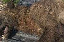 Странное существо, напоминающее волка, было обнаружено в Монтане